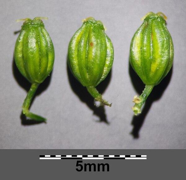 Aethusa cynapium L. subsp. elata (Friedl.) Schübl. & G.Martens