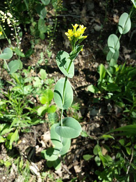 Conringia austriaca (Jacq.) Sweet