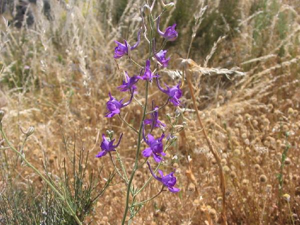 Delphinium pubescens DC.