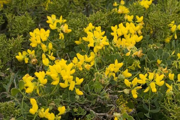 Coronilla repanda (Poir.) Guss. subsp. repanda