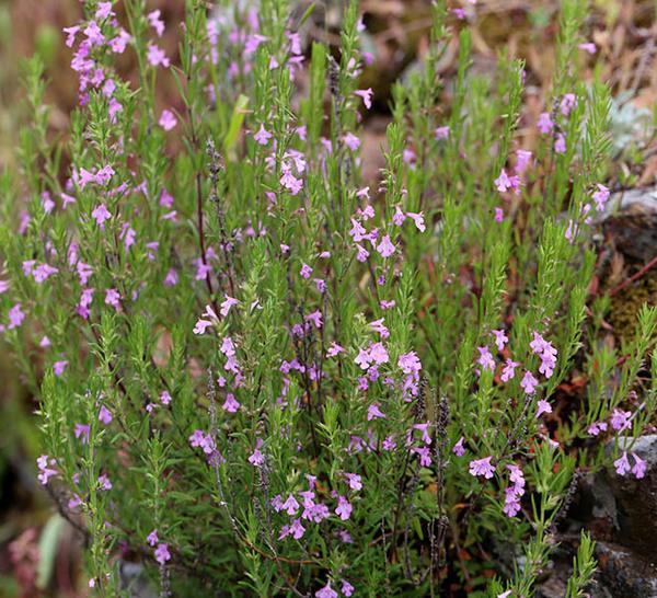 Micromeria graeca (L.) Benth. ex Rchb. subsp. consentina (Ten.) Guinea