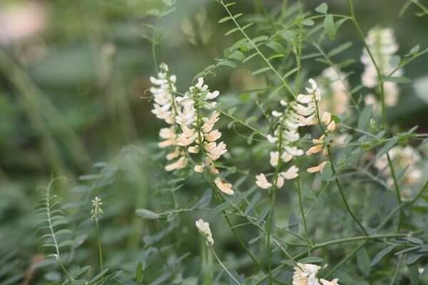 Vicia ochroleuca Ten. subsp. ochroleuca