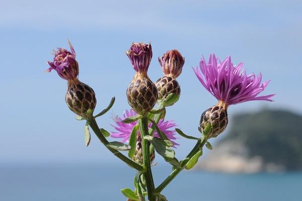 Centaurea aplolepa Moretti subsp. aplolepa