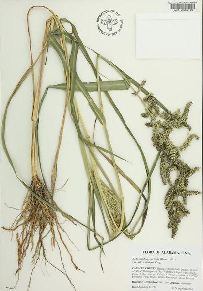 Echinochloa muricata (P.Beauv.) Fernald subsp. microstachya (Wiegand) Jauzein