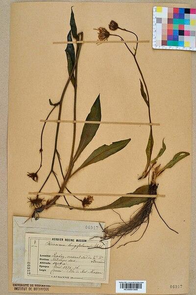 Hieracium longifolium Schleich. ex Hornem. subsp. longifolium