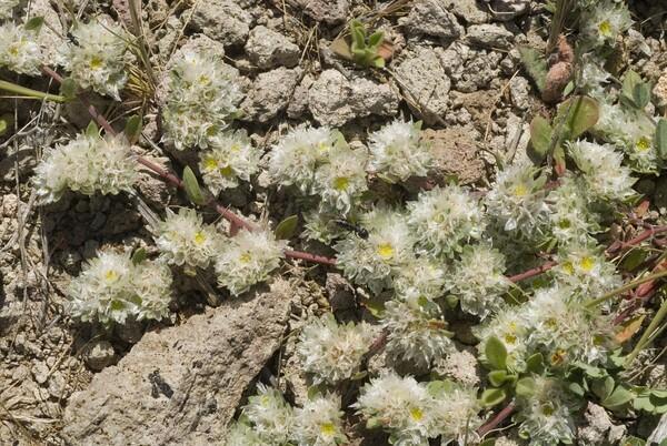 Paronychia capitata (L.) Lam. subsp. capitata
