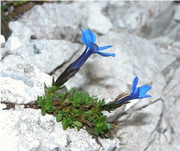 Gentiana terglouensis Hacq.