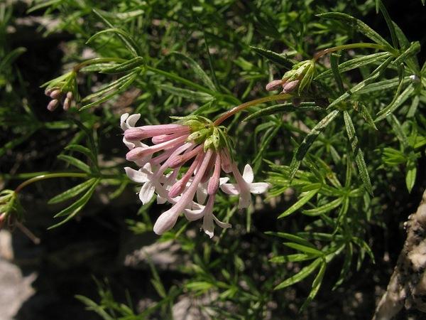 Asperula hexaphylla All.