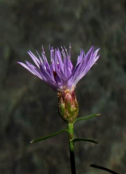 Centaurea aplolepa Moretti subsp. carueliana (Micheletti) Dostál