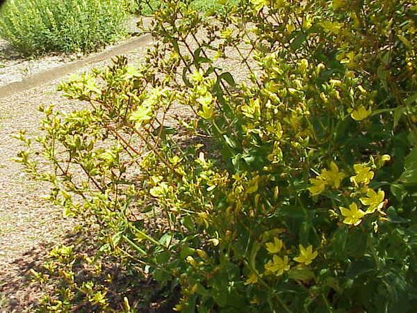 Hypericum tomentosum L.