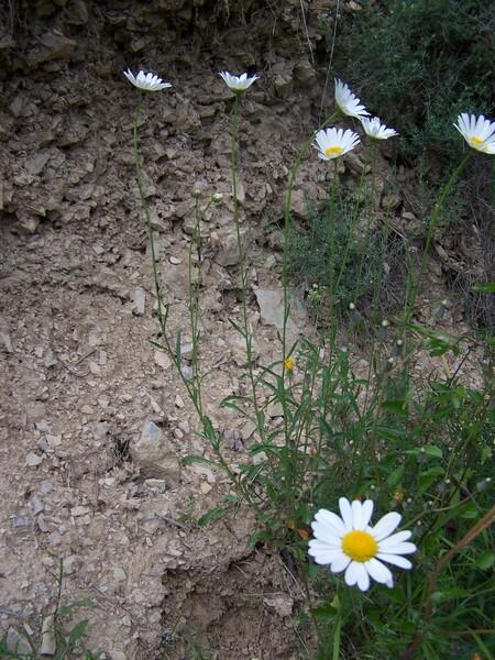 Leucanthemum subglaucum De Laramb.