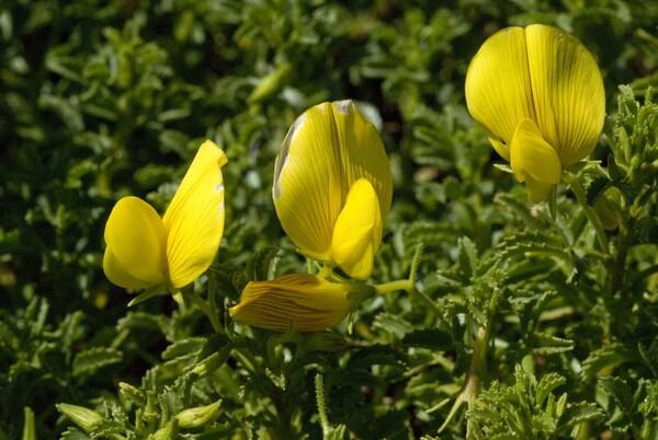 Ononis natrix L. subsp. ramosissima (Desf.) Batt.
