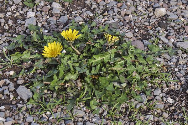 Taraxacum minimum (V.Brig.) N.Terracc.