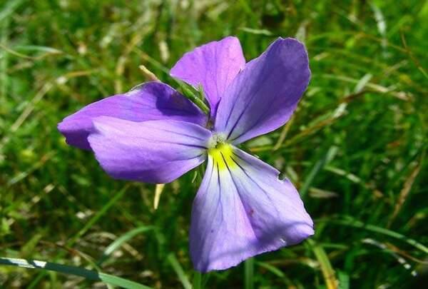 Viola ferrarinii Moraldo & Ricceri