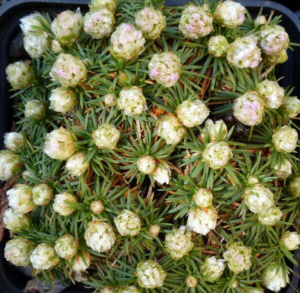 Armeria juniperifolia (Vahl) Hoffmanns. & Link 'Bevan's Variety'