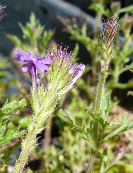 Glandularia bipinnatifida (Schauer) Nutt.