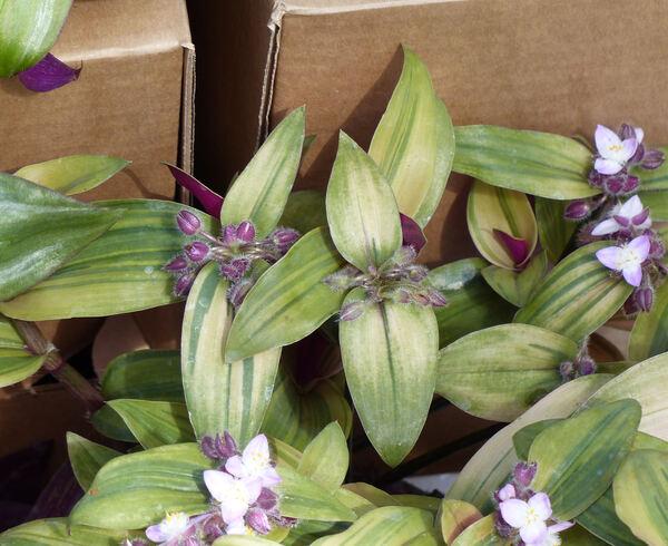 Tradescantia cerinthoides Kunth 'Variegata'