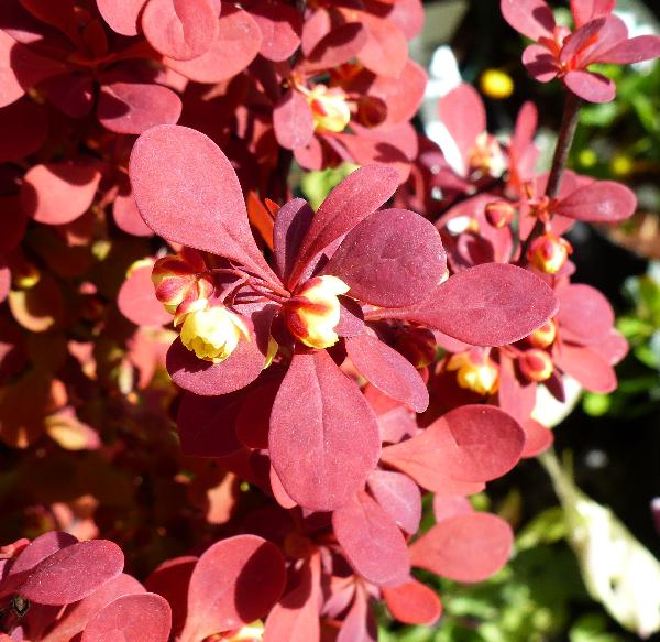 Berberis thunbergii DC. 'Orange Rocket'
