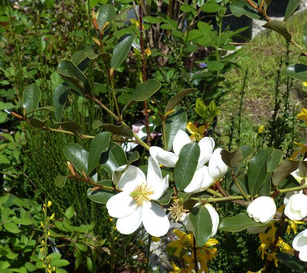 Magnolia laevifolia (Y.W.Law & Y.F.Wu) Noot. 'Summer Snowflake'