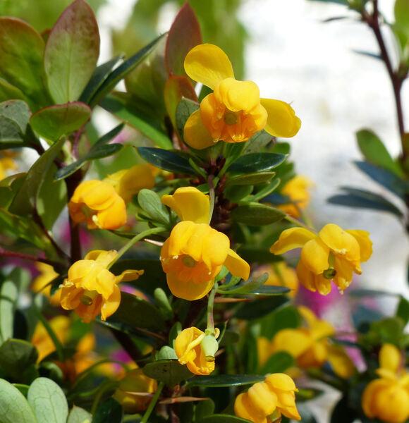 Berberis buxifolia Lam.. 'Nana'