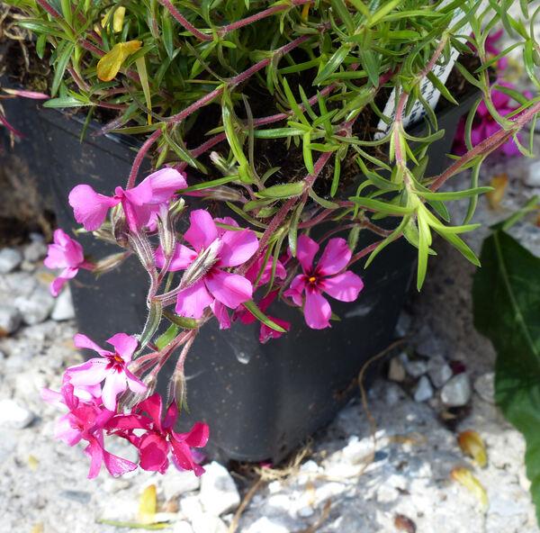 Phlox subulata L. 'Scarlet Flame'