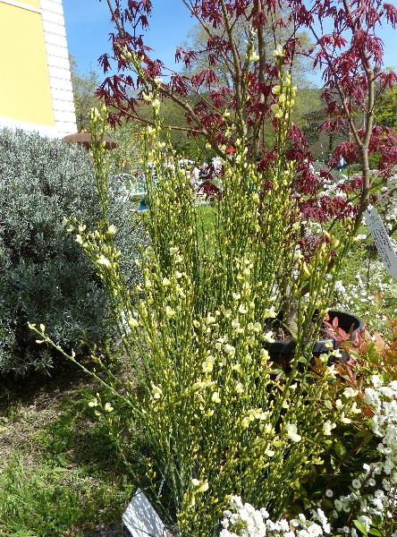 Cytisus x praecox Bean 'Allgold'