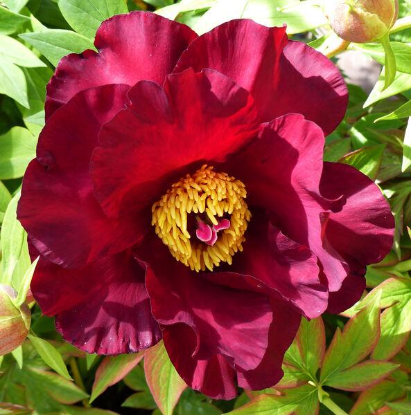 Paeonia x itoh hort. 'Old Rose Dandy'