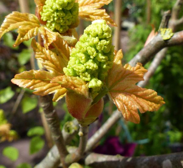 Acer pseudoplatanus L. 'Brillantissimus'