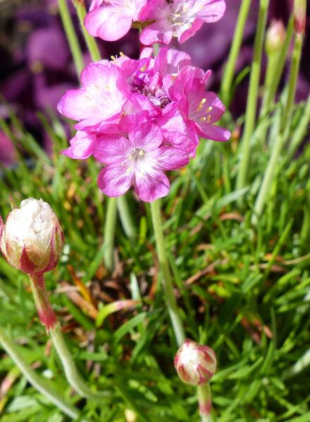 Armeria maritima Willd. 'Armada Rose'
