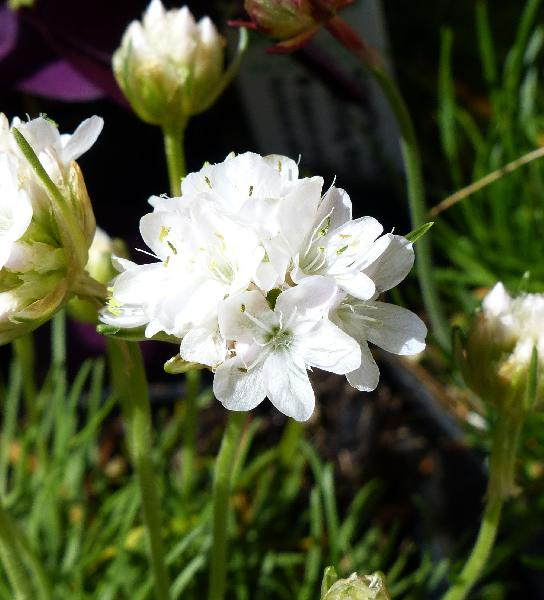 Armeria maritima Willd. 'Morning Star White'