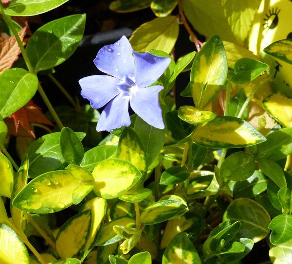 Vinca minor L. 'Aureomarginata'