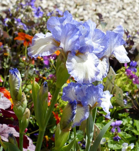 Iris germanica L. 'Loop The Loop'