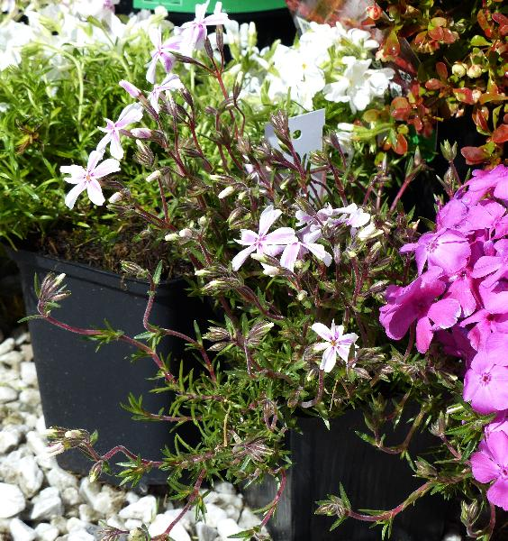 Phlox subulata L. 'Candy Stripes'