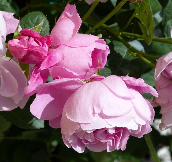 Rosa 'Mary Rose ®'