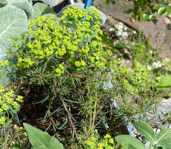 Euphorbia cyparissias L. 'Fens Ruby'