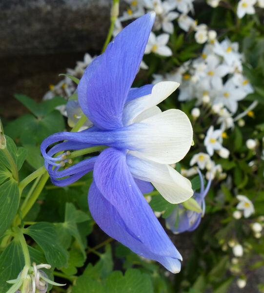 Aquilegia 'Spring Magic Blue-White'
