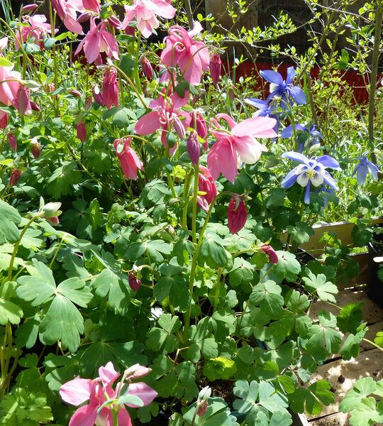 Aquilegia 'Spring Magic Rose & White'