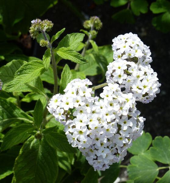 Heliotropium peruvianum L. 'Alba'