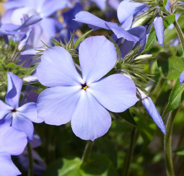 Phlox divaricata L. 'Blue Moon'