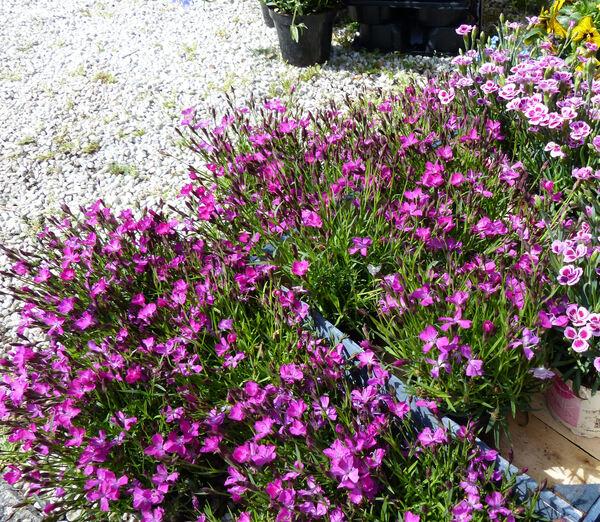 Dianthus gratianopolitanus Vill. 'Kahori'