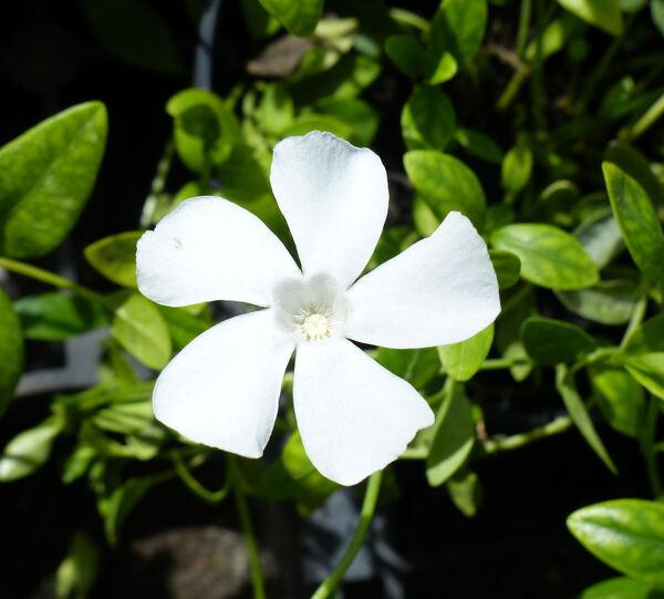Vinca minor L. 'Alba'