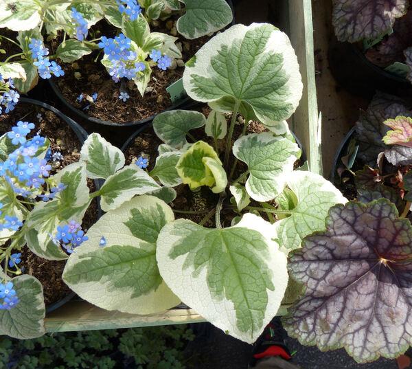Brunnera macrophylla (Adams) I.M.Johnston 'Variegata'