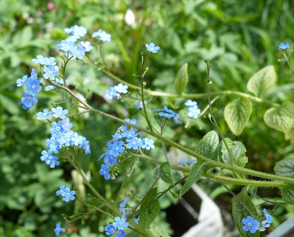 Brunnera macrophylla (Adams) I.M.Johnst. 'Silver Heart'