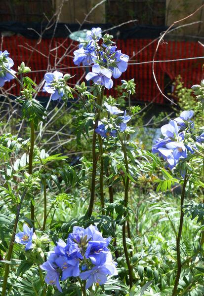 Polemonium 'Bressingham Purple'