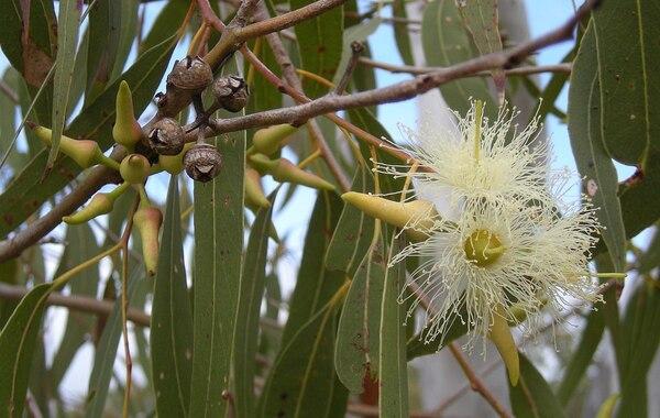 Eucalyptus tereticornis Sm.
