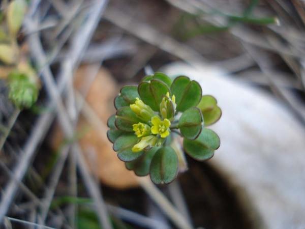 Bivonaea lutea (Biv.) DC.