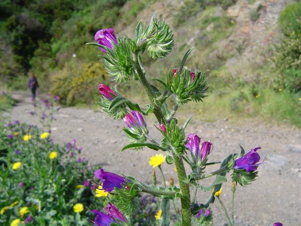 Echium creticum L. subsp. creticum