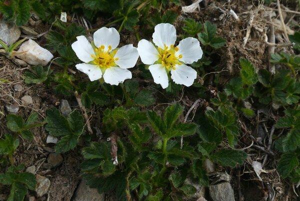 Drymocallis corsica (Soleirol ex Lehm.) Kurtto