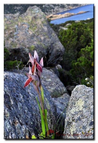 Serapias nurrica Corrias subsp. nurrica