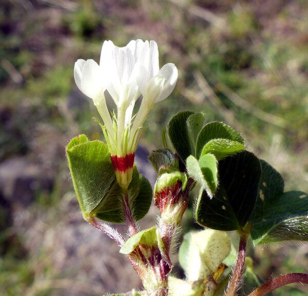 Trifolium subterraneum L. subsp. subterraneum
